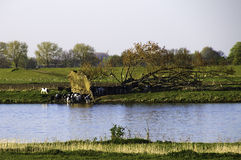 krowy target653_0_ basen wodę Obraz Stock