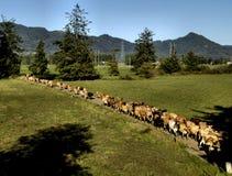 krowy tillamook Obrazy Royalty Free