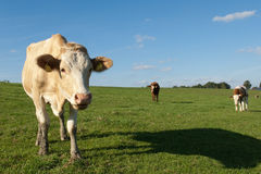 krowy trzy Zdjęcia Royalty Free