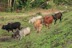 Krowy uprawiać ziemię Fotografia Stock