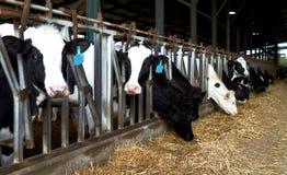 Krowy uprawiają ziemię kibuc, Izrael wiosny karmienie obraz royalty free