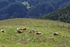 Krowy w łąkach na Grossglockner Zdjęcia Stock