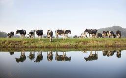 Krowy w łąkowym pobliskim zeist w holandiach Zdjęcie Stock