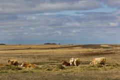 Krowy w świetle słonecznym Obraz Stock