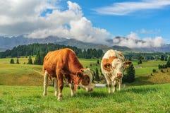 Krowy w Alpi Di Siusi, dolomity Fotografia Royalty Free