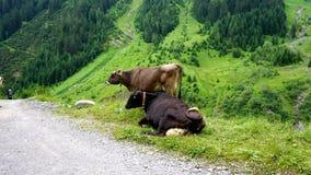 Krowy w alps Zdjęcie Stock