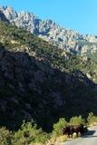 Krowy w Asco górach obraz royalty free