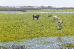 Krowy w bagnie na gospodarstwie rolnym w Lagoa robią Peixe parkowi narodowemu obraz royalty free