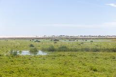 Krowy w bagnie na gospodarstwie rolnym w Lagoa robią Peixe parkowi narodowemu fotografia stock