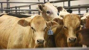 Krowy w corral Zdjęcia Stock