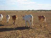 Krowy w emerytura Obraz Stock