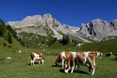Krowy w Fuciade obszarze trawiastym Obrazy Stock