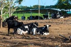 krowy w gospodarstwie rolnym fotografia stock