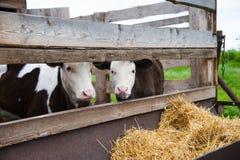 Krowy w gospodarstwie rolnym Nabiał krowy Zdjęcie Royalty Free