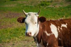 Krowy w gospodarstwie rolnym Nabiał krowy Obraz Royalty Free