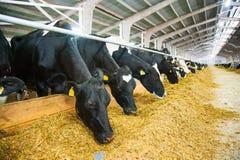 Krowy w gospodarstwie rolnym Nabiał krowy Obrazy Royalty Free