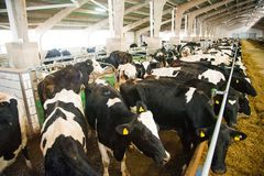 Krowy w gospodarstwie rolnym Nabiał krowy Obrazy Stock
