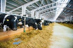 Krowy w gospodarstwie rolnym Nabiał krowy Obraz Stock
