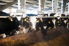 Krowy w gospodarstwie rolnym Nabiał krowy Zdjęcie Stock