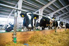 Krowy w gospodarstwie rolnym Nabiał krowy Fotografia Stock