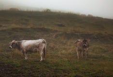Krowy w halnym paśniku Obrazy Stock