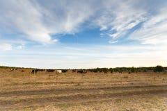 Krowy w jesieni łące Obrazy Stock