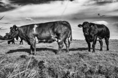Krowy w paśniku Amsterdam Noord, Nederland obrazy royalty free