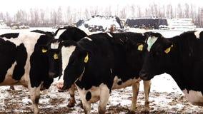 Krowy w piórze w zimie zbiory