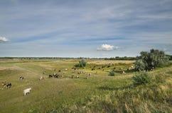 Krowy w polu Obraz Royalty Free