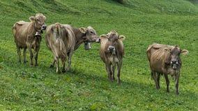 Krowy w polu fotografia royalty free