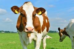 Krowy w segregujący Zdjęcia Royalty Free