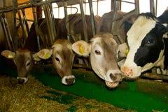 Krowy w stajence Zdjęcia Royalty Free