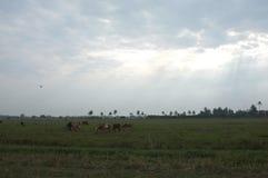 Krowy w trawiastym polu na słonecznym dniu w Tajlandia i jaskrawym Przepojenie styl Obrazy Stock