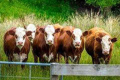 Krowy w Wiejskiej scenie w gospodarstwie rolnym Zdjęcie Stock
