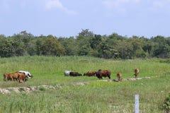 Krowy w wsi Obrazy Stock