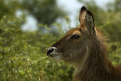 krowy waterbuck Obrazy Royalty Free