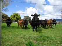 Krowy widzieć przez drutu kolczastego ogrodzenia Obrazy Royalty Free