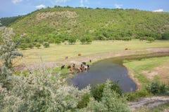 Krowy woda pitna od rzeki Zdjęcie Royalty Free