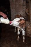 Krowy łydka Obraz Stock