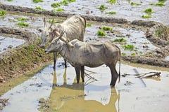 Krowy z lemieszem Zdjęcia Royalty Free