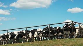 Krowy Za metalu ogrodzeniem Na gospodarstwie rolnym zdjęcie wideo
