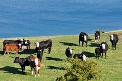 Krowy zbliżać jezioro Obrazy Royalty Free