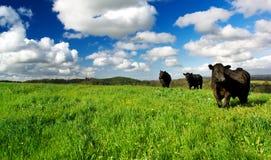 krowy zielenieją łąkę Fotografia Royalty Free