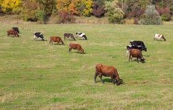 krowy zielenieją łąkę Obraz Royalty Free