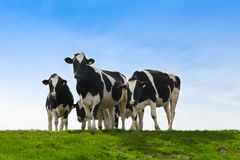 krowy ziemia uprawna fotografia royalty free