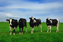 krowy ziemia uprawna Obraz Stock