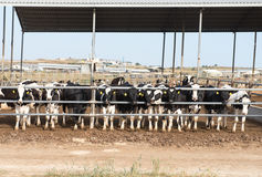 Krowy zwierzęcy gospodarstwo rolne Obraz Stock