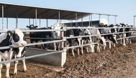 Krowy zwierzęcy gospodarstwo rolne Fotografia Royalty Free