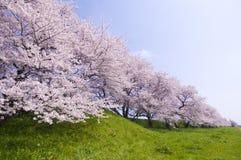 Körsbärsröd blomning Royaltyfri Foto