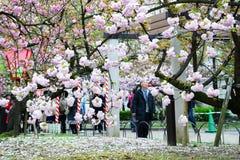 Körsbärsröd blomning på den Japan mintkaramellen, Osaka Royaltyfria Foton
